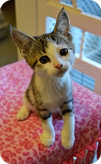 Domestic Shorthair Kitten for adoption in Michigan City, Indiana - Spearmint