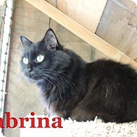 Domestic Longhair Cat for adoption in Waynesville, North Carolina - Sabrina
