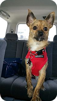Terrier (Unknown Type, Small)/Chihuahua Mix Dog for adoption in Brea, California - Wiley
