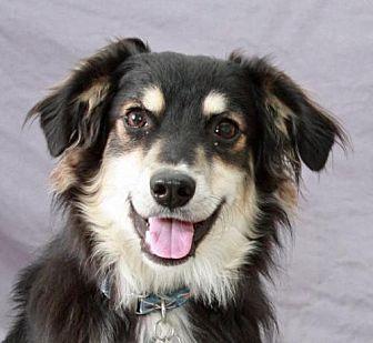 Sheltie, Shetland Sheepdog/Spaniel (Unknown Type) Mix Dog for adoption in Modesto, California - Brady