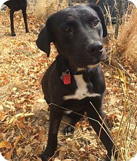 Labrador Retriever Mix Dog for adoption in Broomfield, Colorado - Amadeus