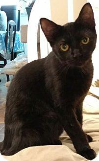 Domestic Shorthair Cat for adoption in Shelbyville, Kentucky - Lovey