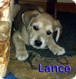 Hound (Unknown Type) Mix Puppy for adoption in Akron, Ohio - 'N SYNC Litter: Lance (applications under review)