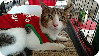 Domestic Shorthair Cat for adoption in Tampa, Florida - Destin