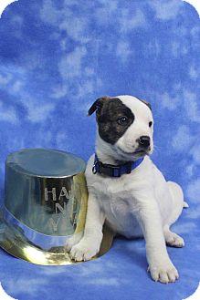 TABITHA | Adopted Puppy | Westminster, CO | Blue Heeler ...