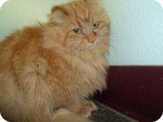 Domestic Longhair Cat for adoption in Montello, Wisconsin - Scruffy