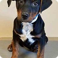 Adopt A Pet :: Annette - Oswego, IL