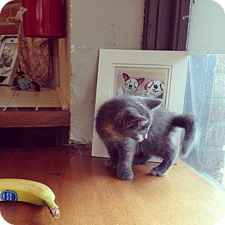 Domestic Mediumhair Kitten for adoption in Vero Beach, Florida - Gabbie
