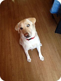 Labrador Retriever Mix Dog for adoption in Kingwood, Texas - Maggie