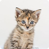 Adopt A Pet :: Priscilla - Fountain Hills, AZ