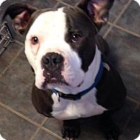 Adopt A Pet :: Boss - Dayton, OH