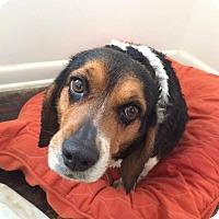 Adopt A Pet :: Peppercorn - Manassas, VA