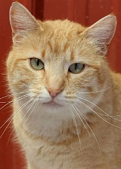 Domestic Shorthair Cat for adoption in Savannah, Missouri - Tawny