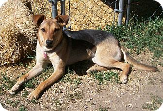 German Shepherd Dog/Cattle Dog Mix Dog for adoption in Questa, New Mexico - Cleo