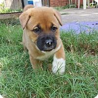 Adopt A Pet :: Reeses - Dallas, TX
