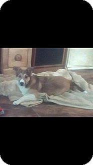 Sheltie, Shetland Sheepdog Mix Dog for adoption in Rochester, Minnesota - Ruby