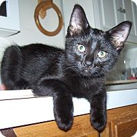 Domestic Shorthair Kitten for adoption in Hedgesville, West Virginia - Jasper