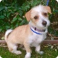 Dandie Dinmont Terrier Mix Dog for adoption in San Diego, California - RUBY