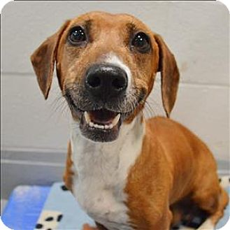 Basset Hound/Beagle Mix Dog for adoption in Raleigh, North Carolina - Betsy