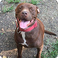 Labrador Retriever Mix Dog for adoption in Allen, Texas - Chocolate