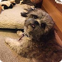 Shih Tzu Mix Dog for adoption in Shakopee, Minnesota - Guido D3389