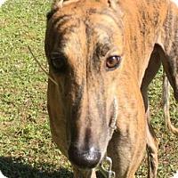Adopt A Pet :: Harley - West Palm Beach, FL