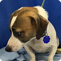 Adopt A Pet :: Bruiser - Lexington, KY