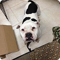 Adopt A Pet :: Hoss - Kill Devil Hills, NC