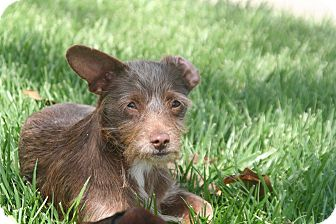 Dachshund/Chihuahua Mix Puppy for adoption in Garden Grove, California - Thumper