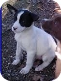 Feist/Terrier (Unknown Type, Medium) Mix Puppy for adoption in Allentown, Pennsylvania - Moon