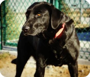 Labrador Retriever Mix Dog for adoption in Cheyenne, Wyoming - Daisey