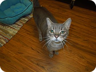 Domestic Shorthair Cat for adoption in Medina, Ohio - Smokey