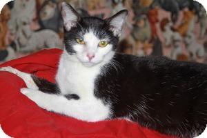Domestic Mediumhair Kitten for adoption in LEXINGTON, Kentucky - ATOMIC KITTEN