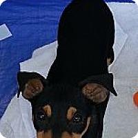 Adopt A Pet :: Rocky Road - Tumwater, WA