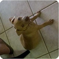 Adopt A Pet :: Mila - Mesa, AZ
