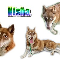 Adopt A Pet :: Nisha - Seminole, FL