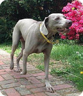 Weimaraner Dog for adoption in Birmingham, Alabama - Tula