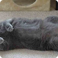 Domestic Shorthair Cat for adoption in Gaithersburg, Maryland - Grey