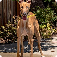 Adopt A Pet :: Shout - Walnut Creek, CA