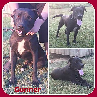 Labrador Retriever/Pit Bull Terrier Mix Dog for adoption in Malvern, Arkansas - GUNNER