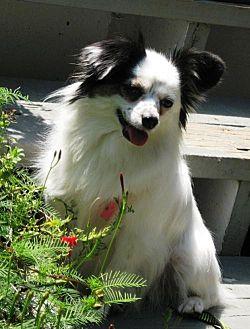 Papillon Mix Dog for adoption in Marietta, Georgia - Dixie (in GA)