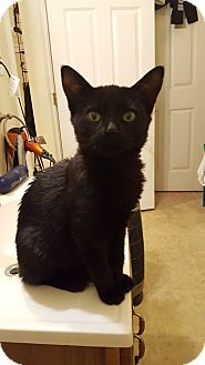 Domestic Shorthair Kitten for adoption in Sterling, Massachusetts - ONYX