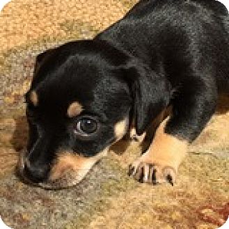 Dachshund Mix Puppy for adoption in Houston, Texas - Alexis Appleseed