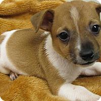 Adopt A Pet :: Deputy Dawg - Groton, MA