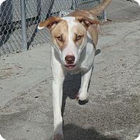 Adopt A Pet :: Luce - Seguin, TX