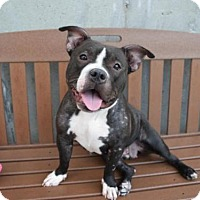 Adopt A Pet :: BELLA - Brooklyn, NY