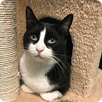 Domestic Shorthair Cat for adoption in Toronto, Ontario - Dasher