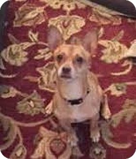 Chihuahua/Terrier (Unknown Type, Medium) Mix Dog for adoption in Stone Mountain, Georgia - Sputnik