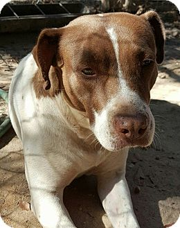 Pointer/American Staffordshire Terrier Mix Dog for adoption in Southbury, Connecticut - Sis
