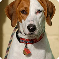 Adopt A Pet :: Gunner - Pottsville, PA